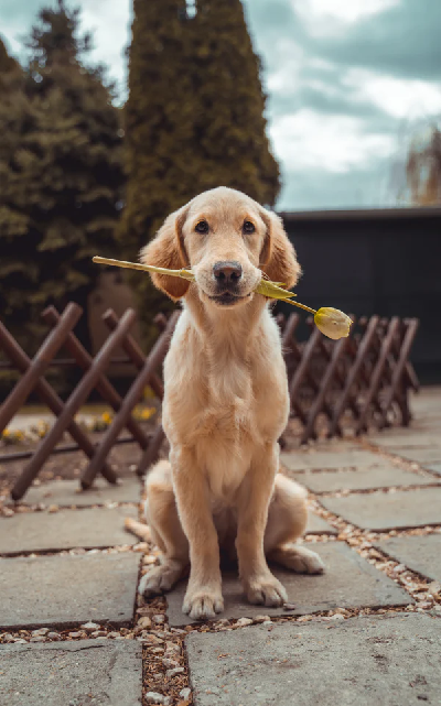 Dog sitting holding a yellow rose